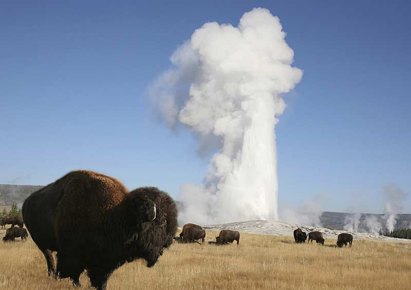 Bison in front of Old Faithful
