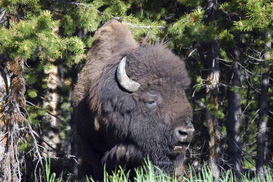 A huge male bison, more safely located on the side of the road