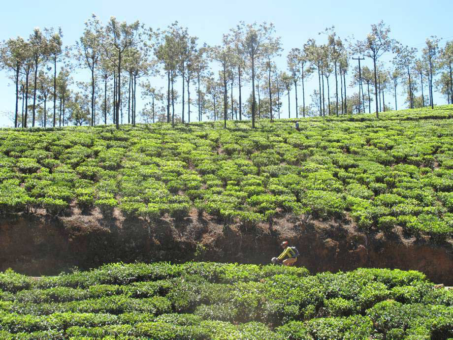 Cycling the tea plantations