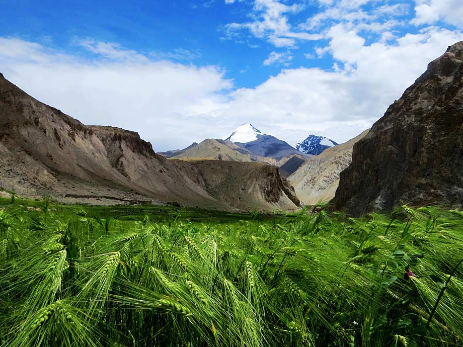 Barley fields on the Markha Valley trek
