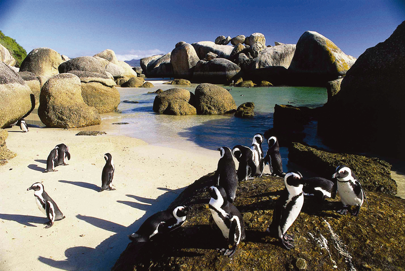 Penguins on Boulders Beach, near Cape Town, South Africa