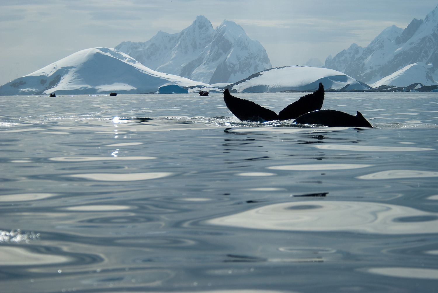 Whales and Icebergs, Antarctica