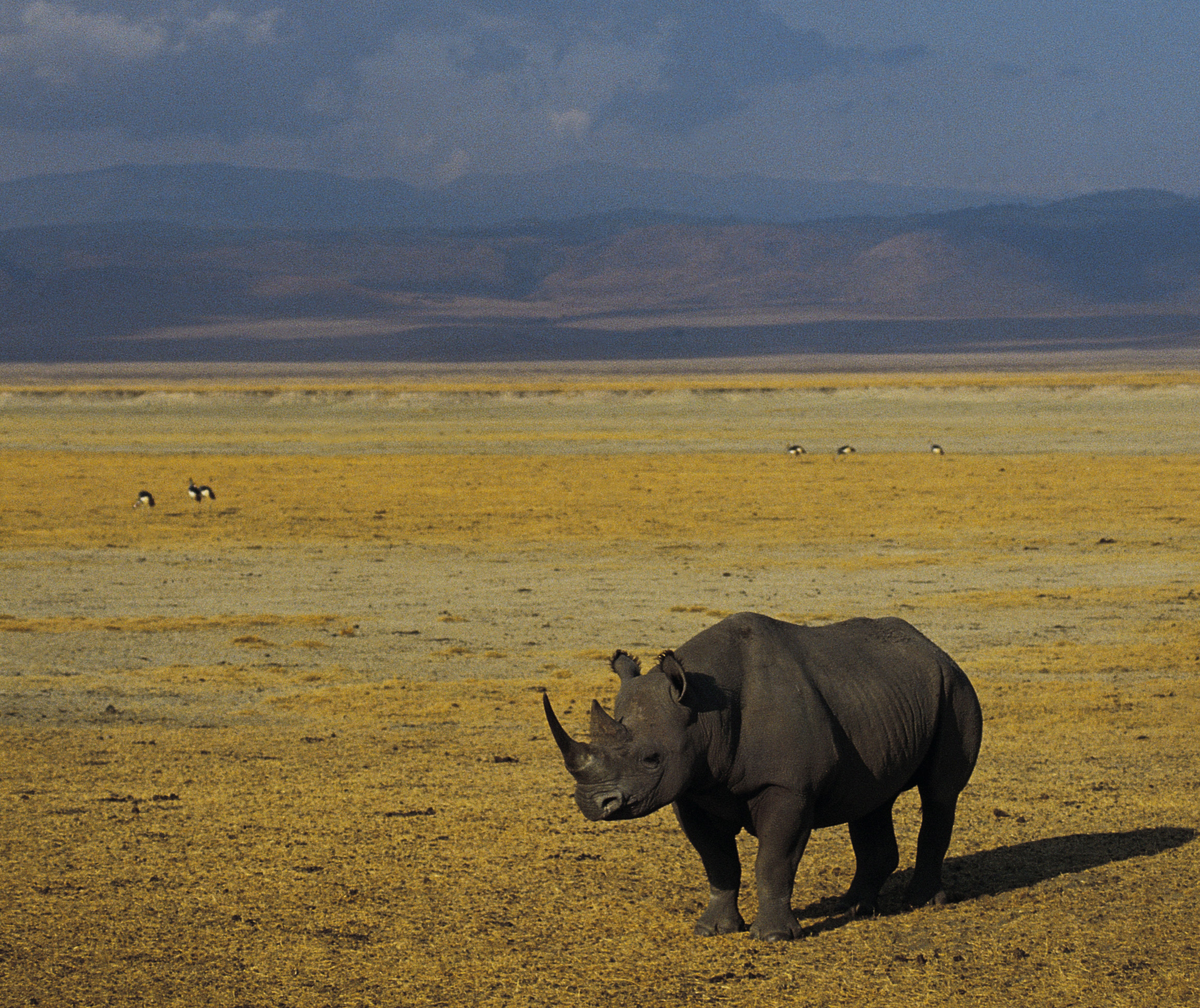 black rhino Ngorongoro Crater