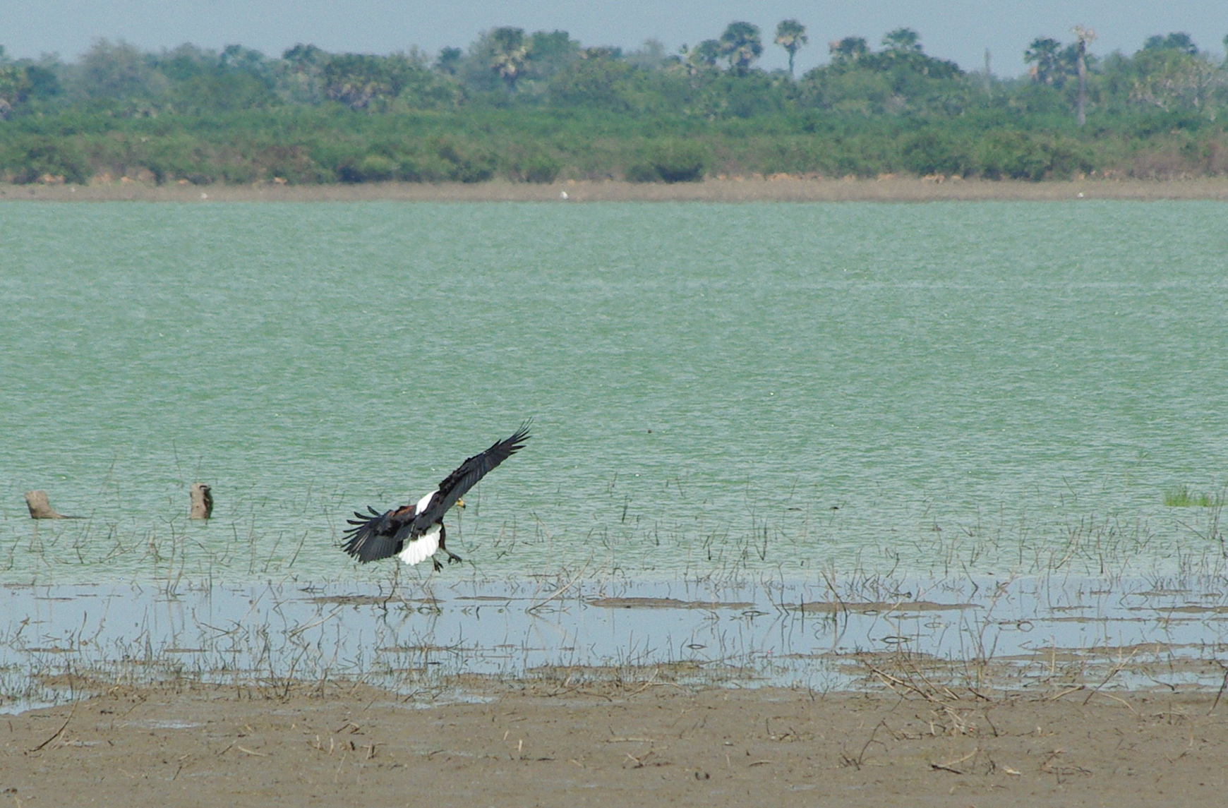 Selous - African fish eagle