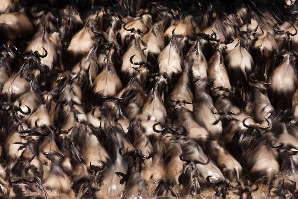 The Great Migration in action on the Mara River