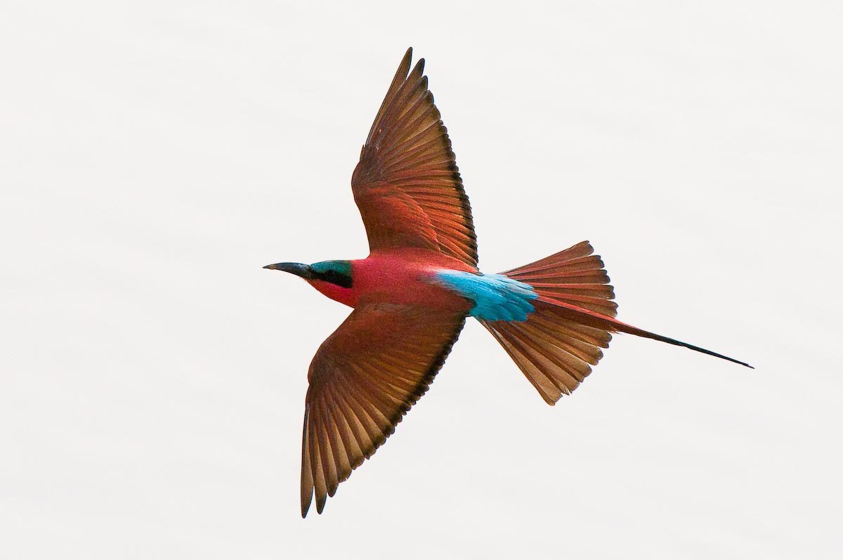 Carmine Bee-eater in flight in South Luangwa