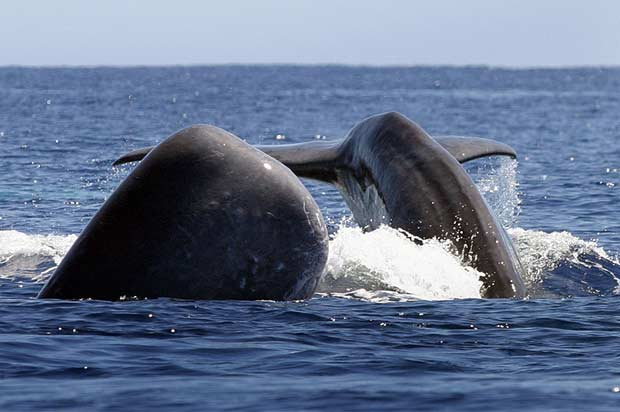 Whales spy hopping in the Azores