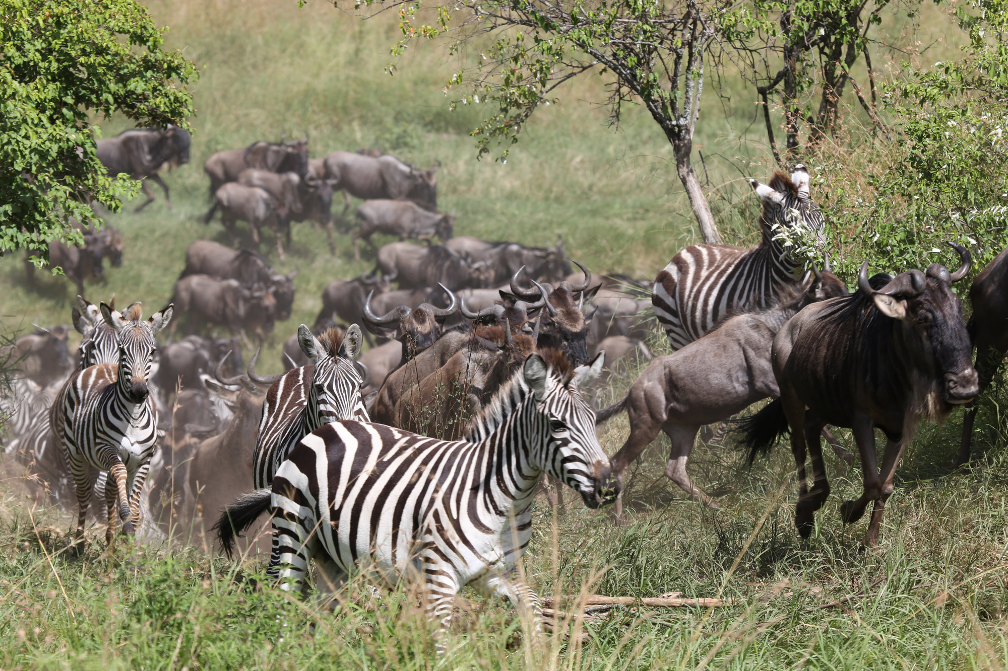 Herds of wildebeest, zebra and gazelle have now arrived in the Mara (image by Caroline Barley)
