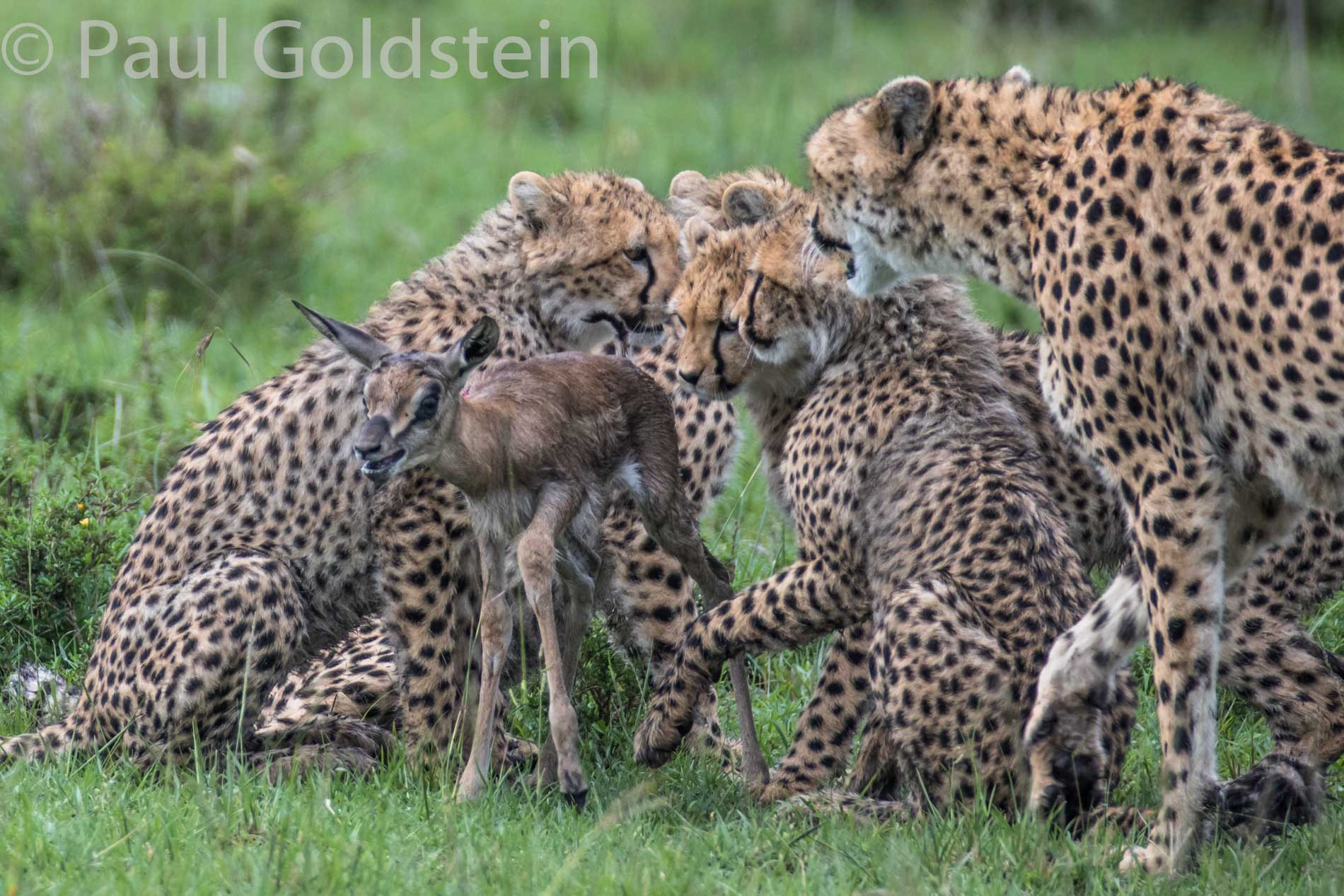 Cheetah family in the Masai Mara (June 2015)