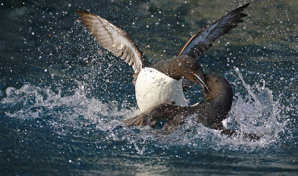 Fighting guillemots by Ian Jones