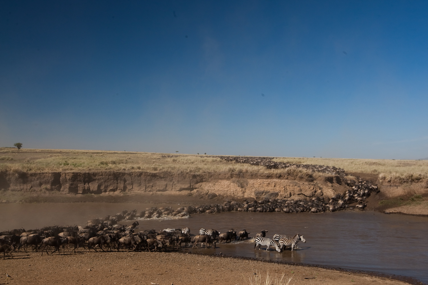 Wildebeest and Zebra crossing river during migration