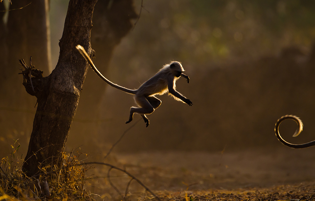 Langurs in India, as seen on Planet Earth II
