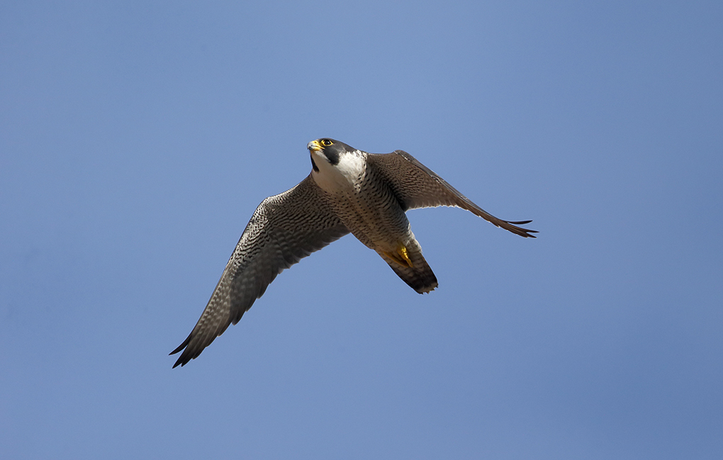 Peregrine falcon, as seen on Planet Earth II