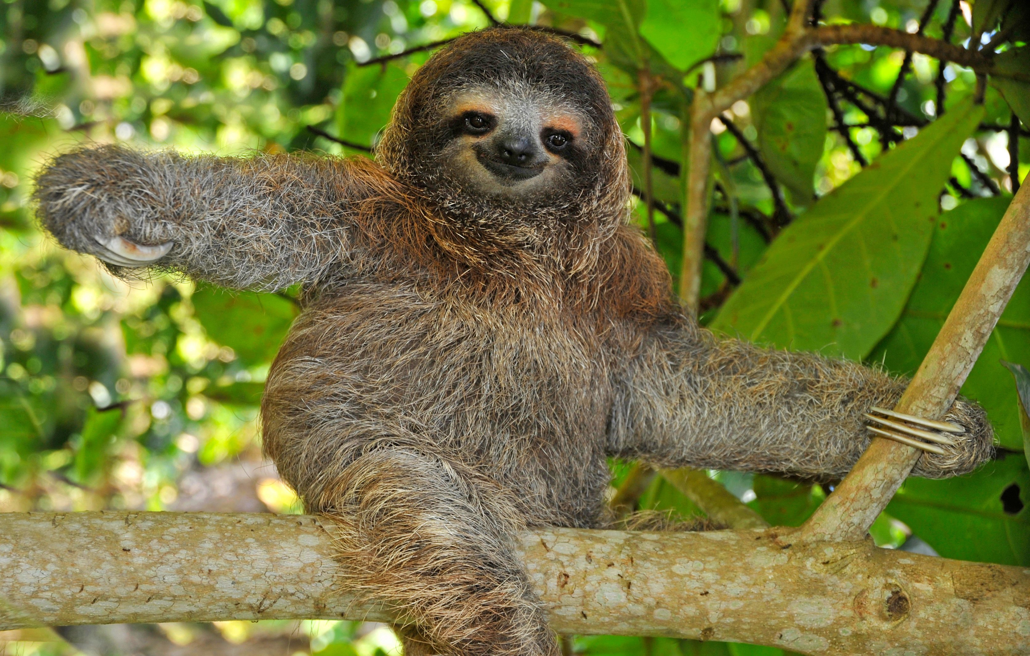 Three-toed Sloth, Costa Rica