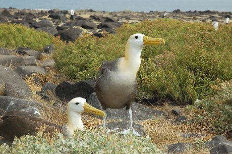 Waved albatross, Galapagos