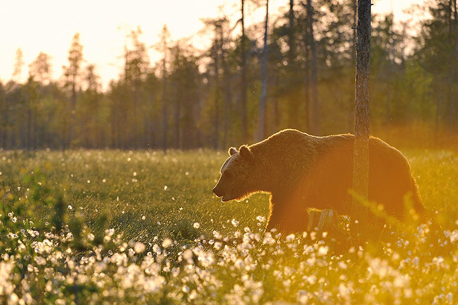 Brown Bear at sunrise, in the wild Finnish woodland