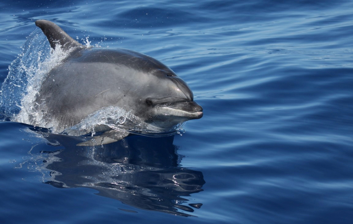 Whale & Dolphin Watching in the Azores
