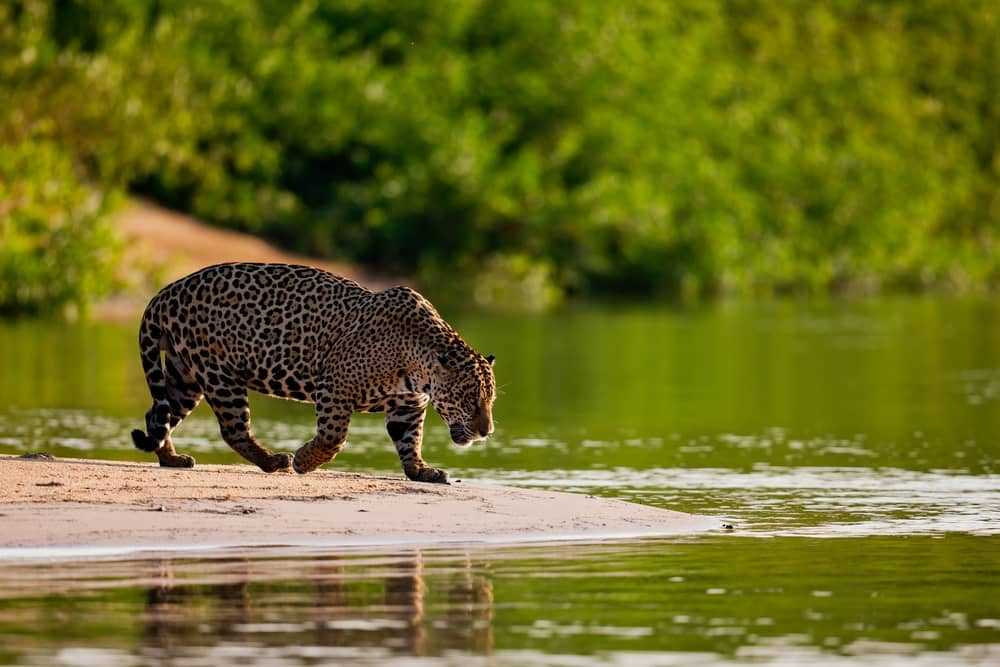 Leopard in the Pantanal