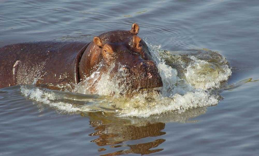 Hippos bathing in the water