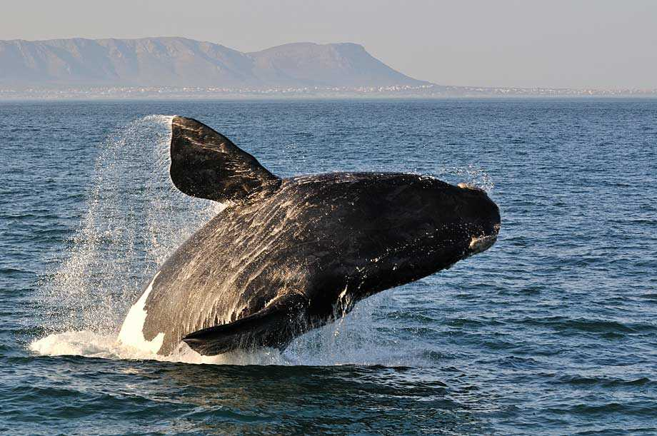 Whale off the coast of South Africa