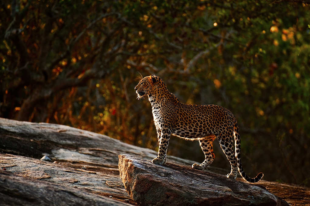 Leopard in Yala National Park