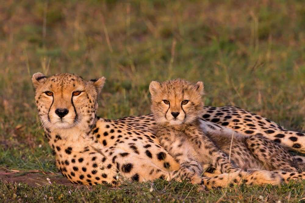 Cheetahs having a lie down