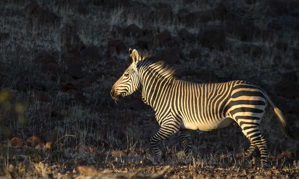 Zebra in the Palmwag Concession
