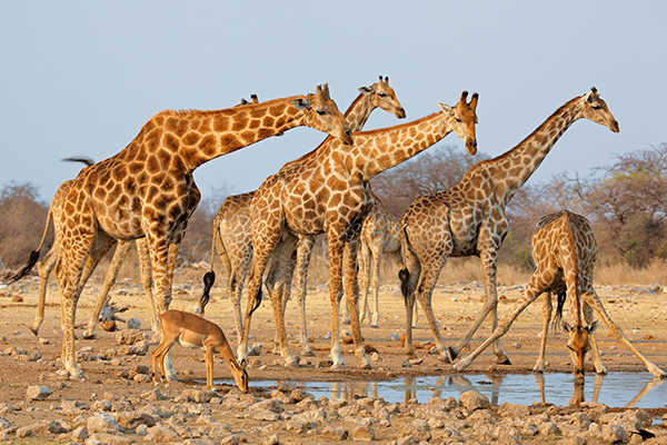 Giraffe herd in South Africa