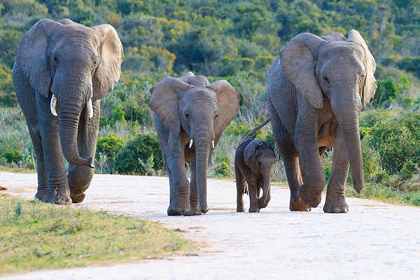 Elephant heard in South Africa