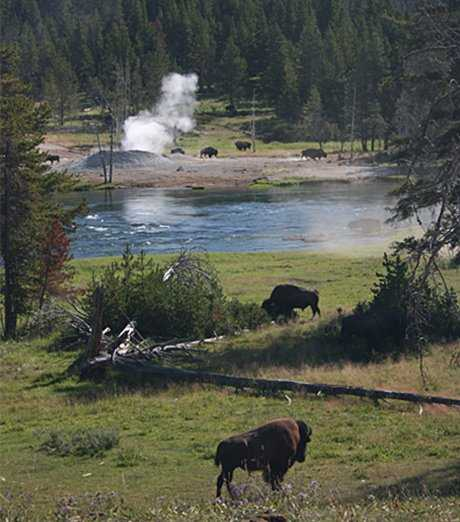 Bison grazing peacefully