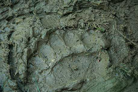 Bear paw-print
