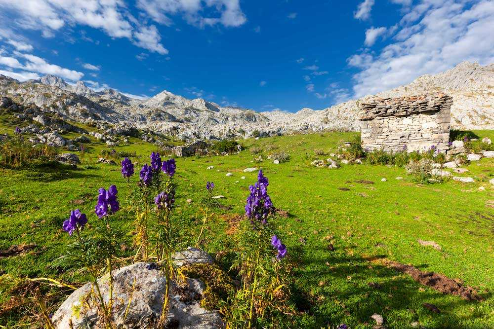 Alpine flowers of Picos de Europa