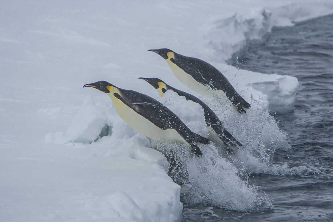 Penguins, Paul Goldstein