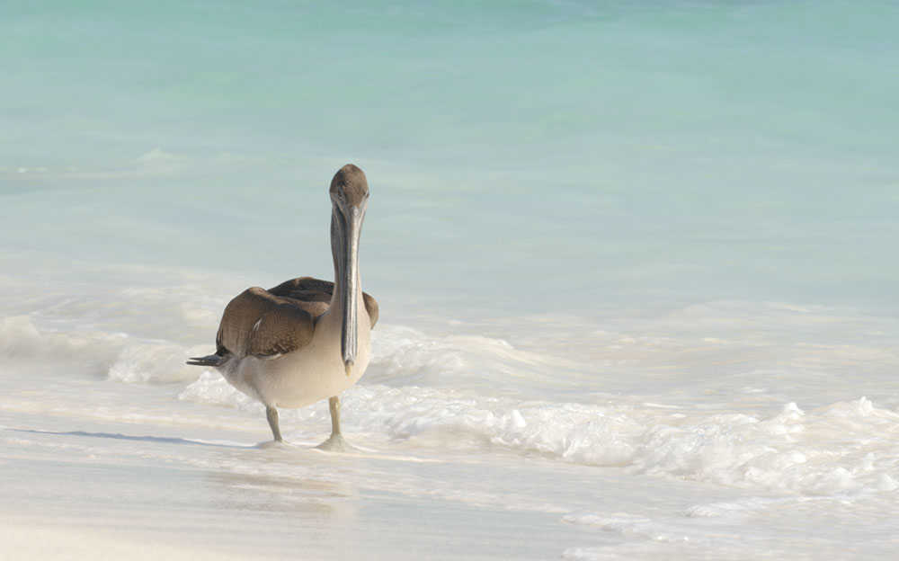 Pelican in the Galapagos
