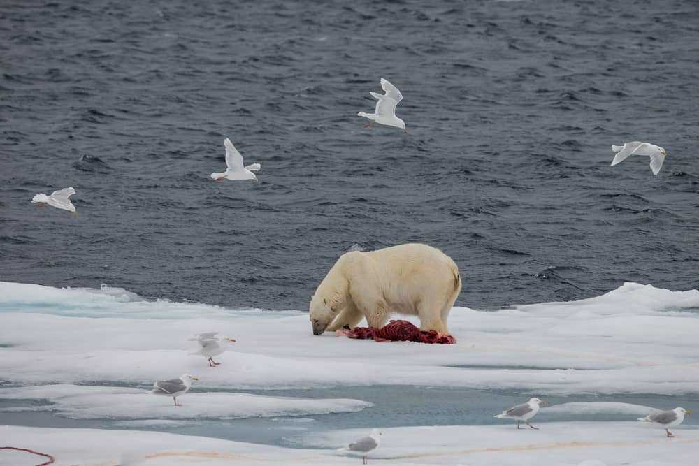 Polar bear feeding on a seal in Spitsbergen