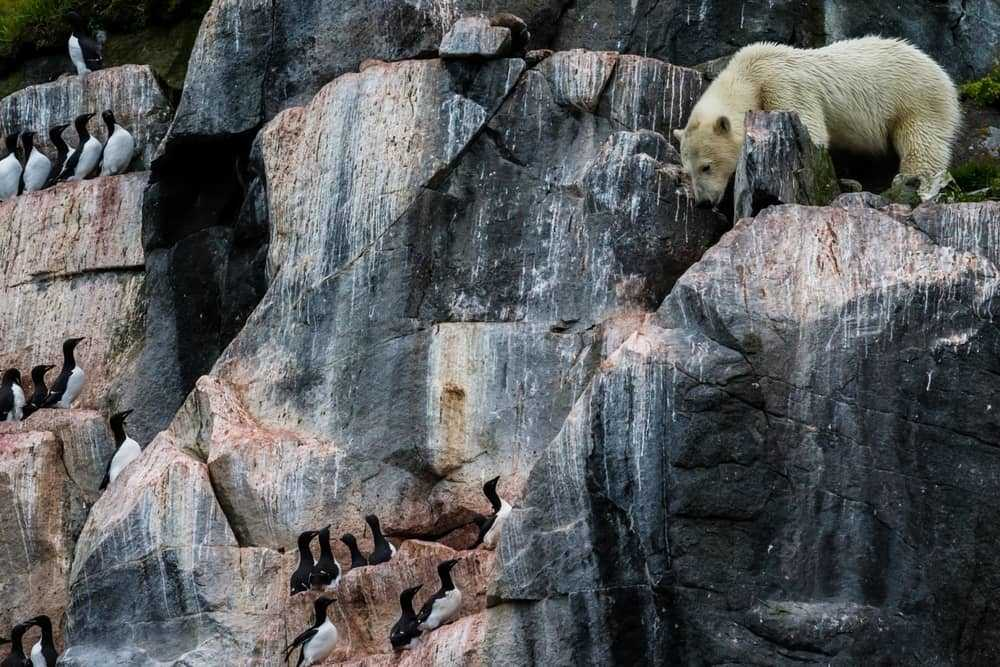 Polar Bear on cliffs in Spitsbergen