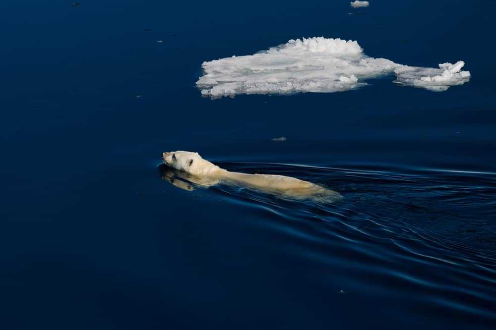 Polar bear swimming in Spitsbergen's icy Arctic waters