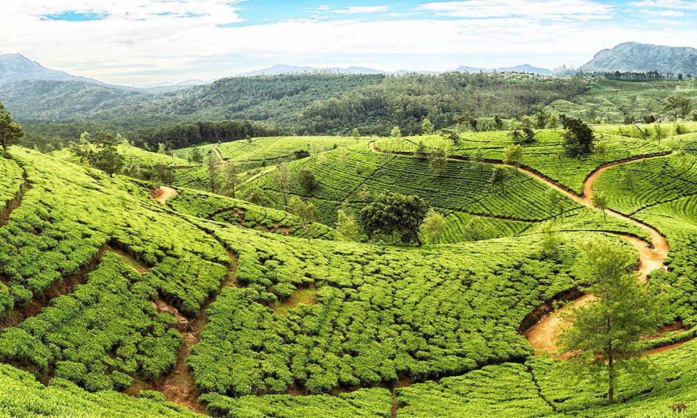 sri lanka tea plantations