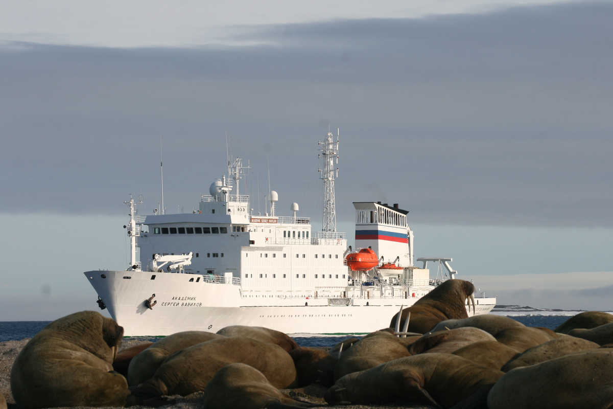 Walrus and the Vavilov. Arctic