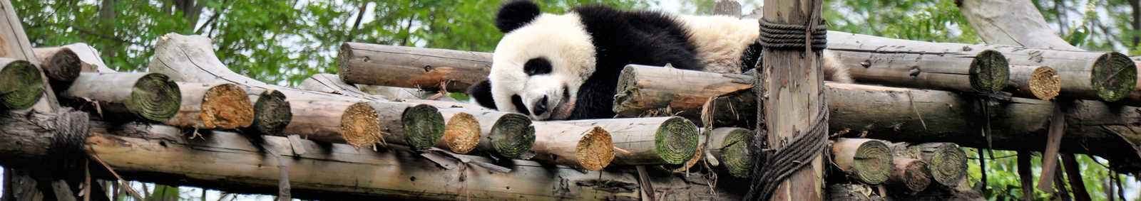 Giant Panda, Chengdu Sanctuary