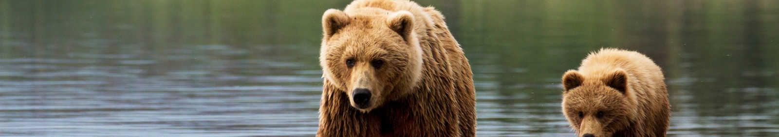 Brown bear sow and cub, Alaska