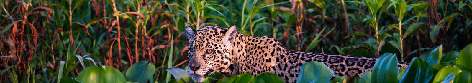 Jaguar, Pantanal, Brazil - Copywrite Paul Goldstein