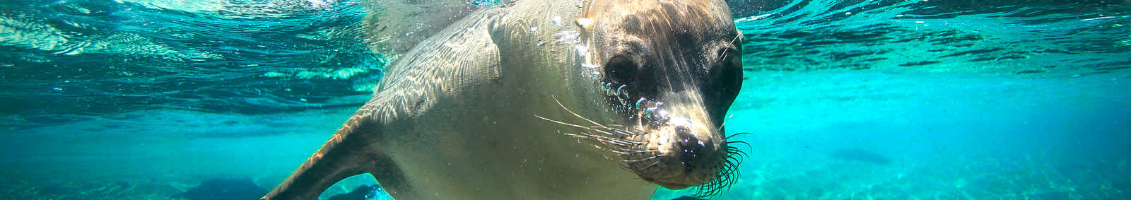 Curious sea lion underwater, Galapagos Islands