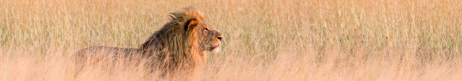 Lion in Savuti