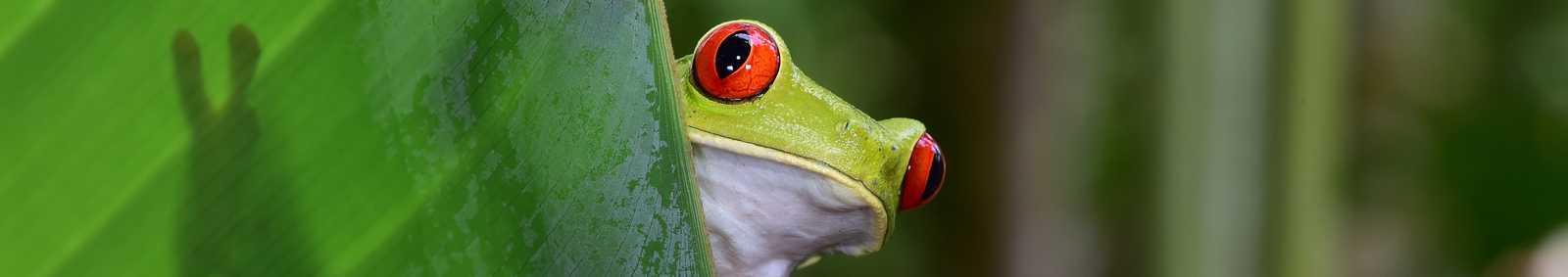 Frog Costa Rica