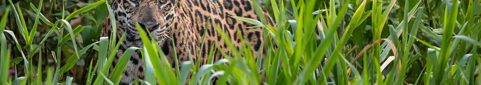 Jaguar in the Pantanal, Brazil (Image by Paul Goldstein)