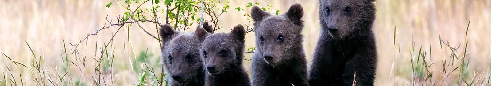 Marsican Bear Cub, Italy