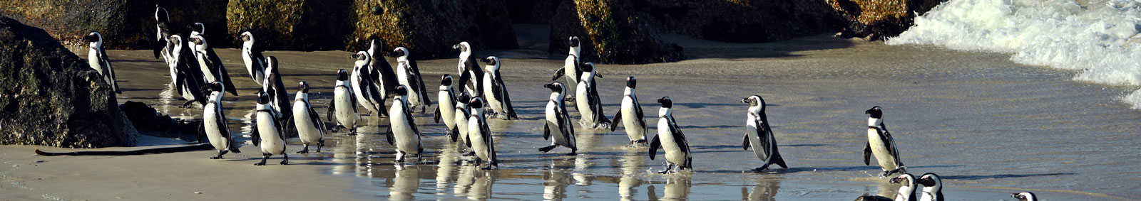 South African penguins at Boulders beach