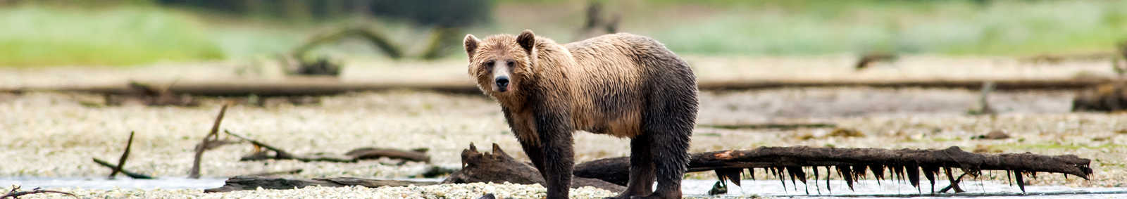Bear in Canada