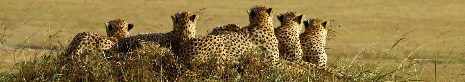 cheetah cubs in Masai Mara